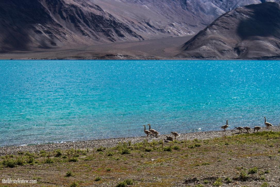 A rare sighting: Bar Headed Geese at Pangong Ladakh.